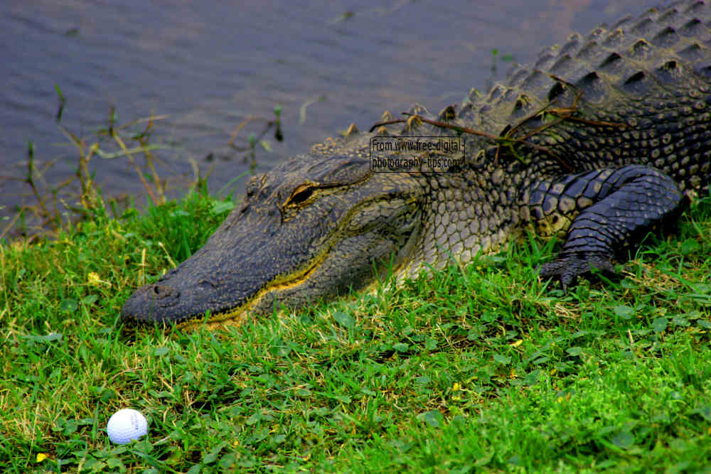 wildlife photography florida alligator crocodile daring golfer pick up golf ball