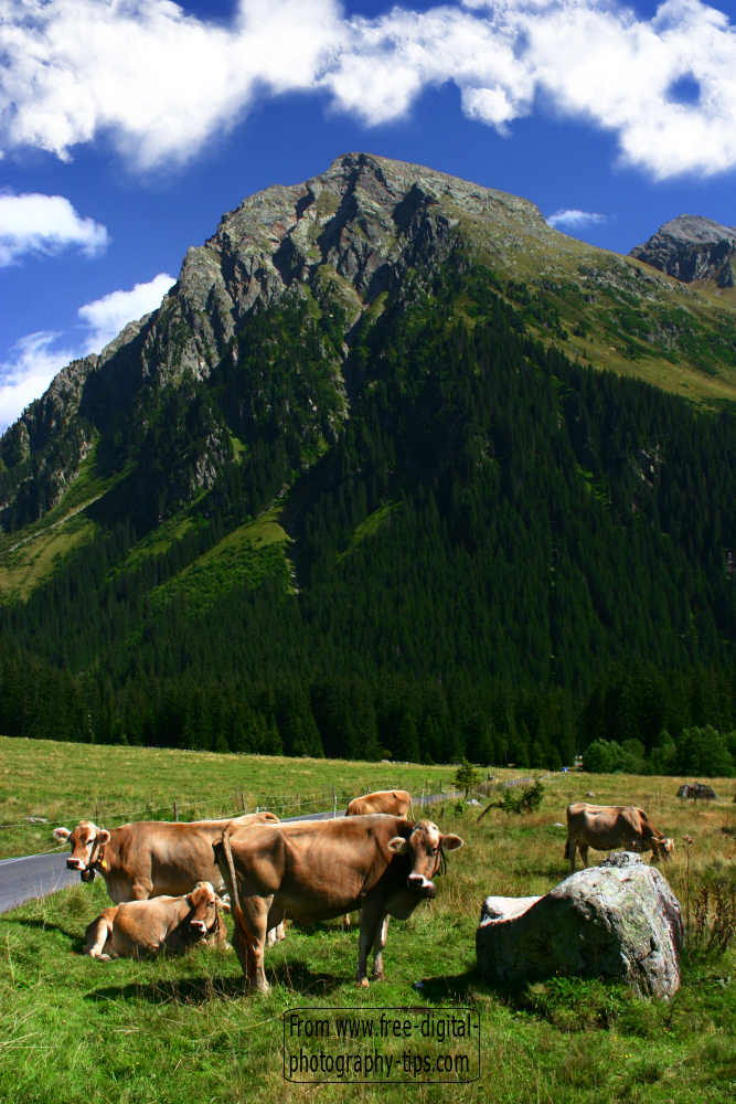 wildlife photography swiss cows grazing klosters switzerland swiss alps background