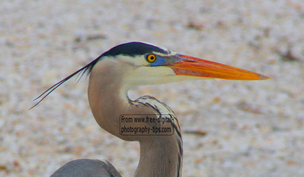 wildlife photography Florida great blue heron bird checking out tourists Fort Myers Florida