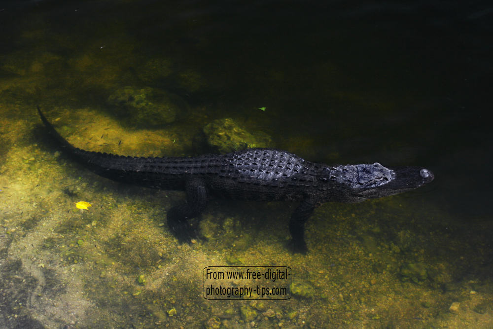 wildlife photography Florida alligator wading swamp looking food