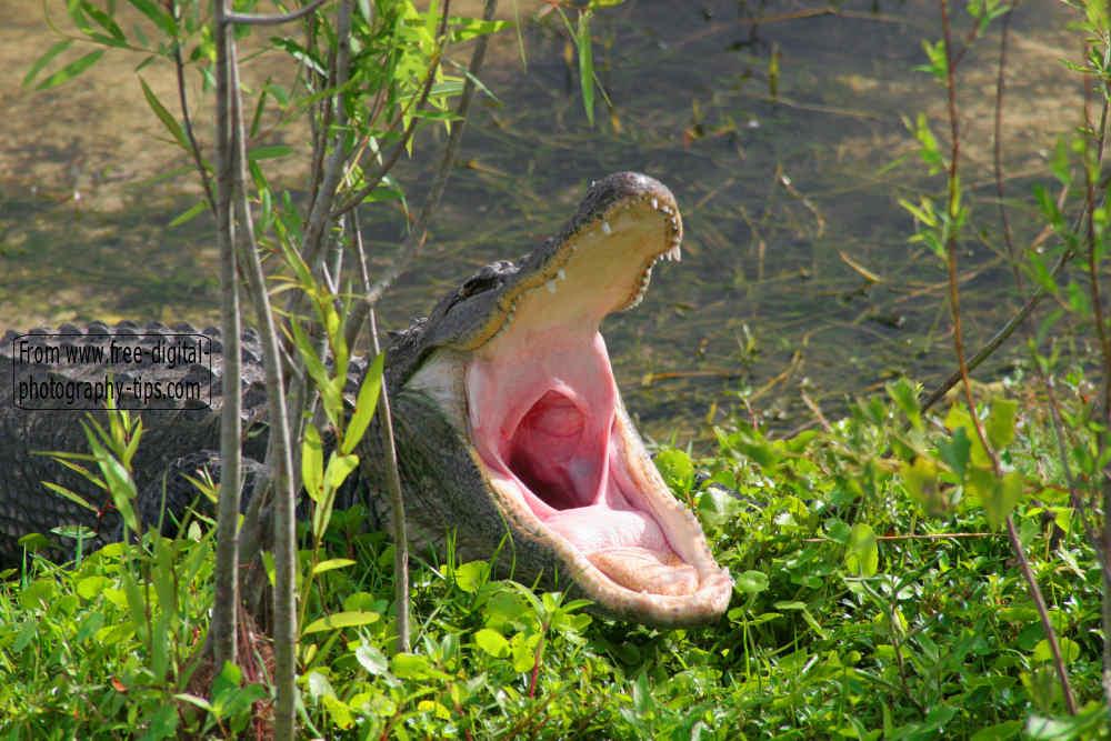 Florida Alligator Mouth Open