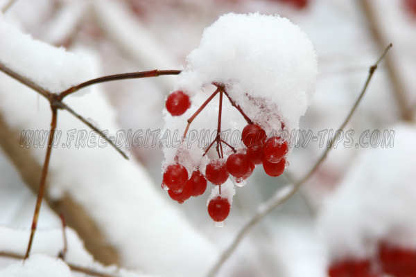 Cool red berries hanging branch snow piled high snow storm Luzern Switzerland