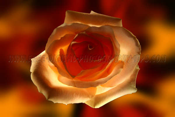 beautiful light orange rose lit light painting technique