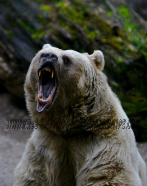 wildlife photography Angry vicious bear looking for its next dinner in Switzerland.