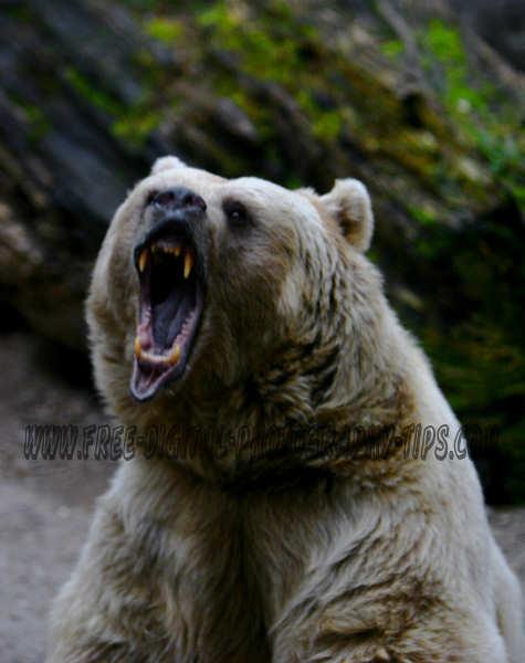 angry vicious bear attack teeth