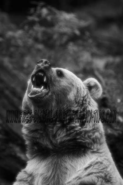 angry bear black and white - photo #24
