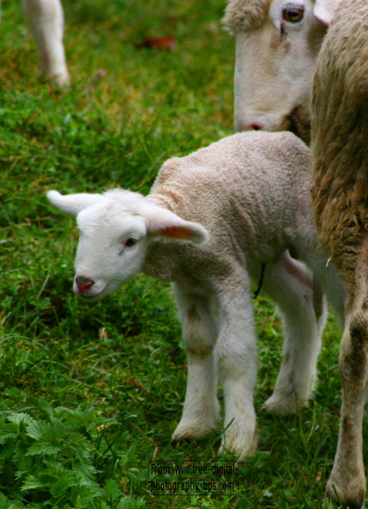 wildlife photography Adorable little baby lamb stayig close mother Saas Switzerland