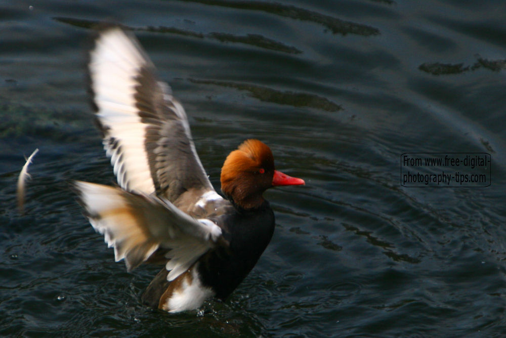 wildlife photography Beautiful Red crested Pochard netta rufina flapping wings Arth Goldau Switzerland