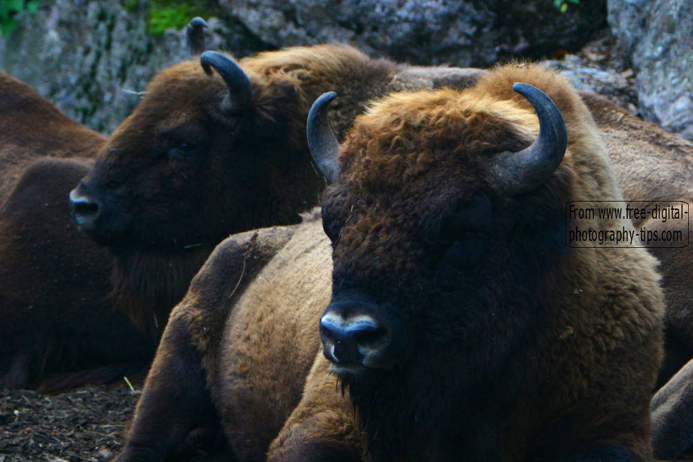 wildlife photography Huge buffalo resting Arth Goldau Switzerland