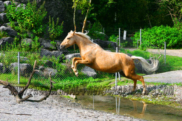 wildlife photography Beautiful palomino horse jumping a creek in Bern Switzerland.