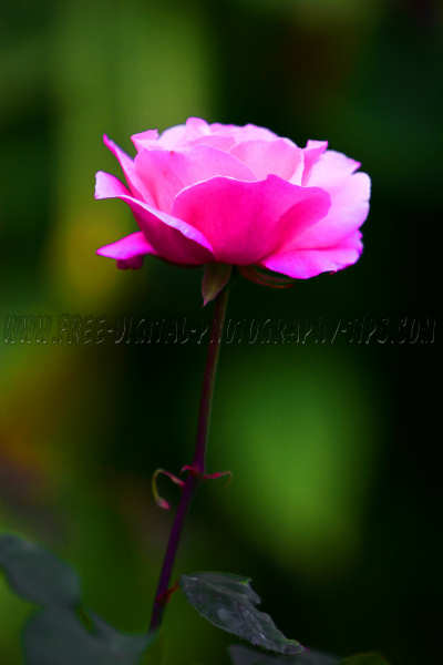 beautiful pink rose thriving Luzern Switzerland