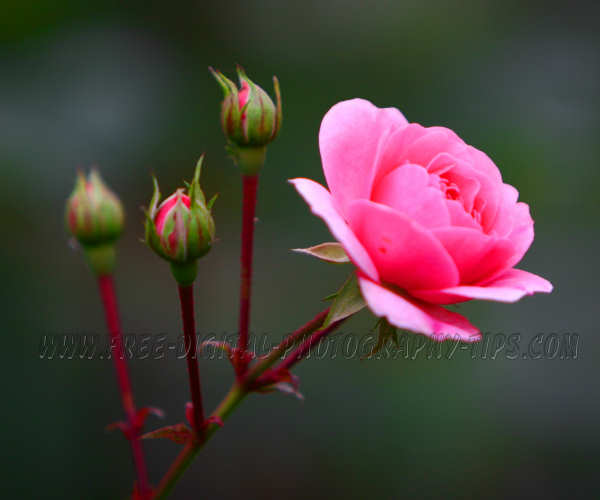 beautiful pink rose thriving Luzern Switzerland buds burst open moment