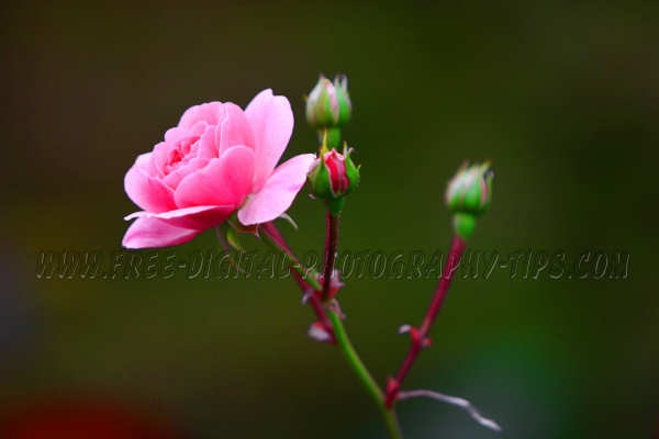beautiful pink rose thriving Luzern Switzerland buds ready burst open moment